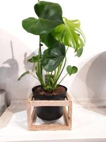 MONSTERA PLANT IN BLACK WODDEN CAGED POT