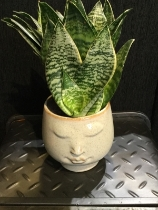Beige pouty face pot with dracenia finish